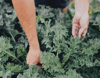 Hands picking leafy, green whole-food ingredients for New Chapter's fermentation process.